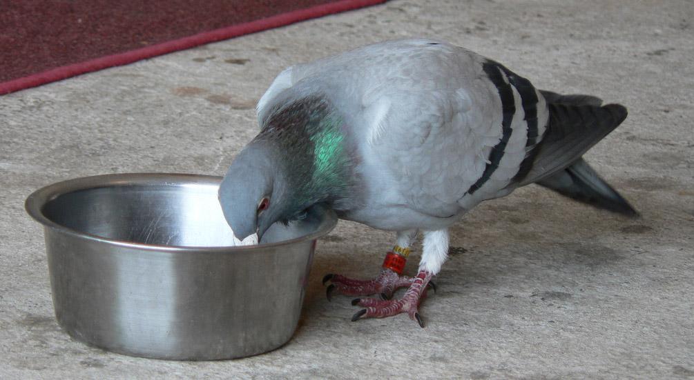 Lost racing pigeons
