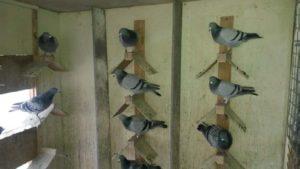 fahiem-racing-pigeons